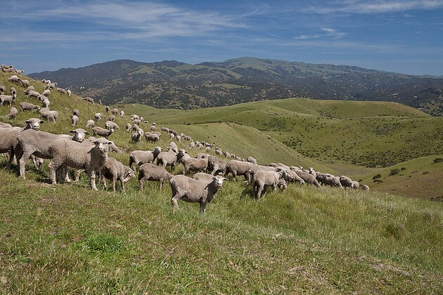 sheep-fort-ord-grazing-fees-2-2-15-thumb-630x420-87482