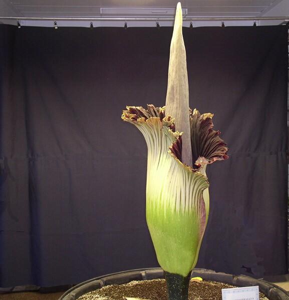 Corpse Flower | Slabcity Gang/Flickr