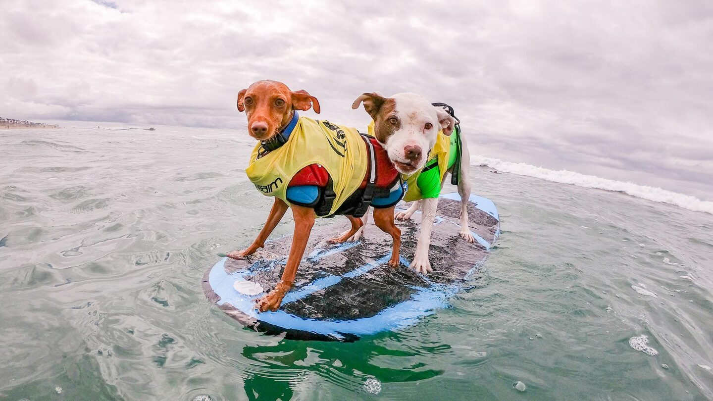Two dogs standing on a surfboard in the water pose for a picture