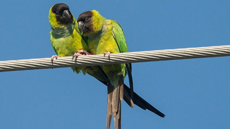 Nanday parakeets, an adorable but potentially troublesome species now colonizing SoCal urban woodlands | Photo: Patty McGann, some rights reserved