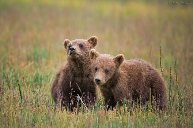 babies-griz-6-26-15-thumb-630x419-94679