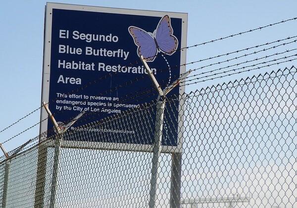 El Segundo Blue Butterfly habitat restoration area at LAX.