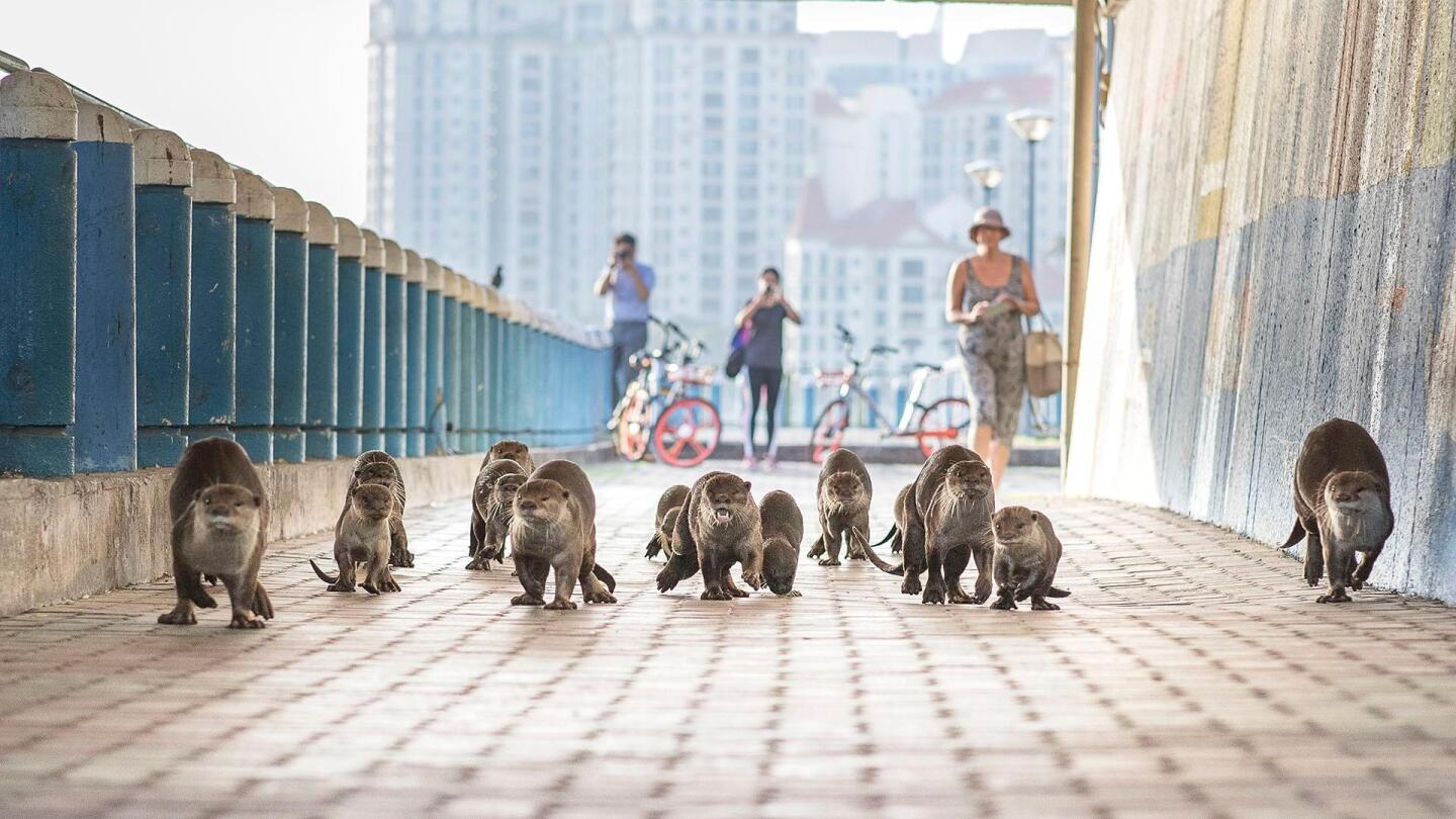 "A large group of otters strut down a walkway in the city. | ""Wild Metropolis: Residents"""