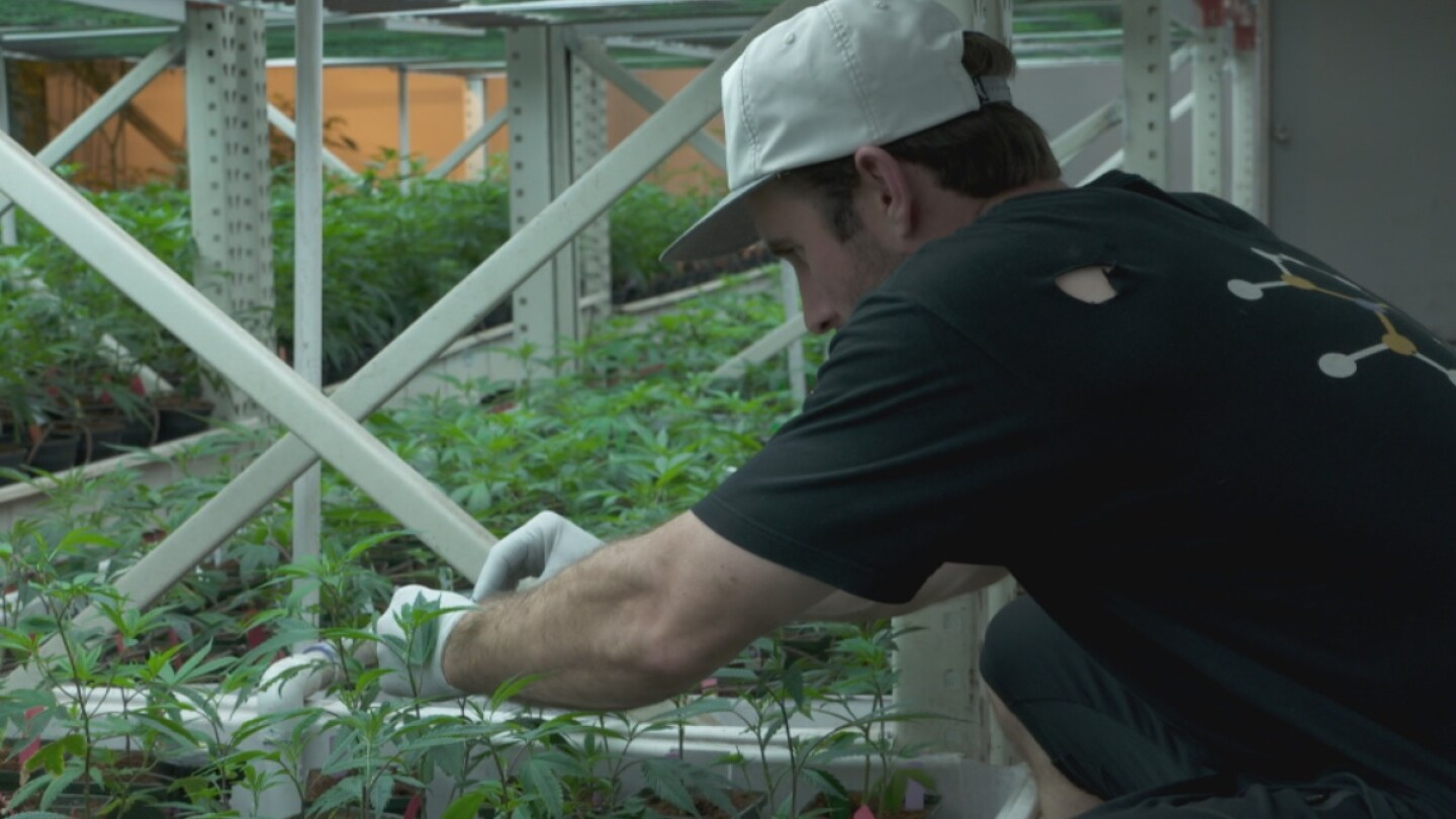 Veteran Tending to a Marijuana Plant