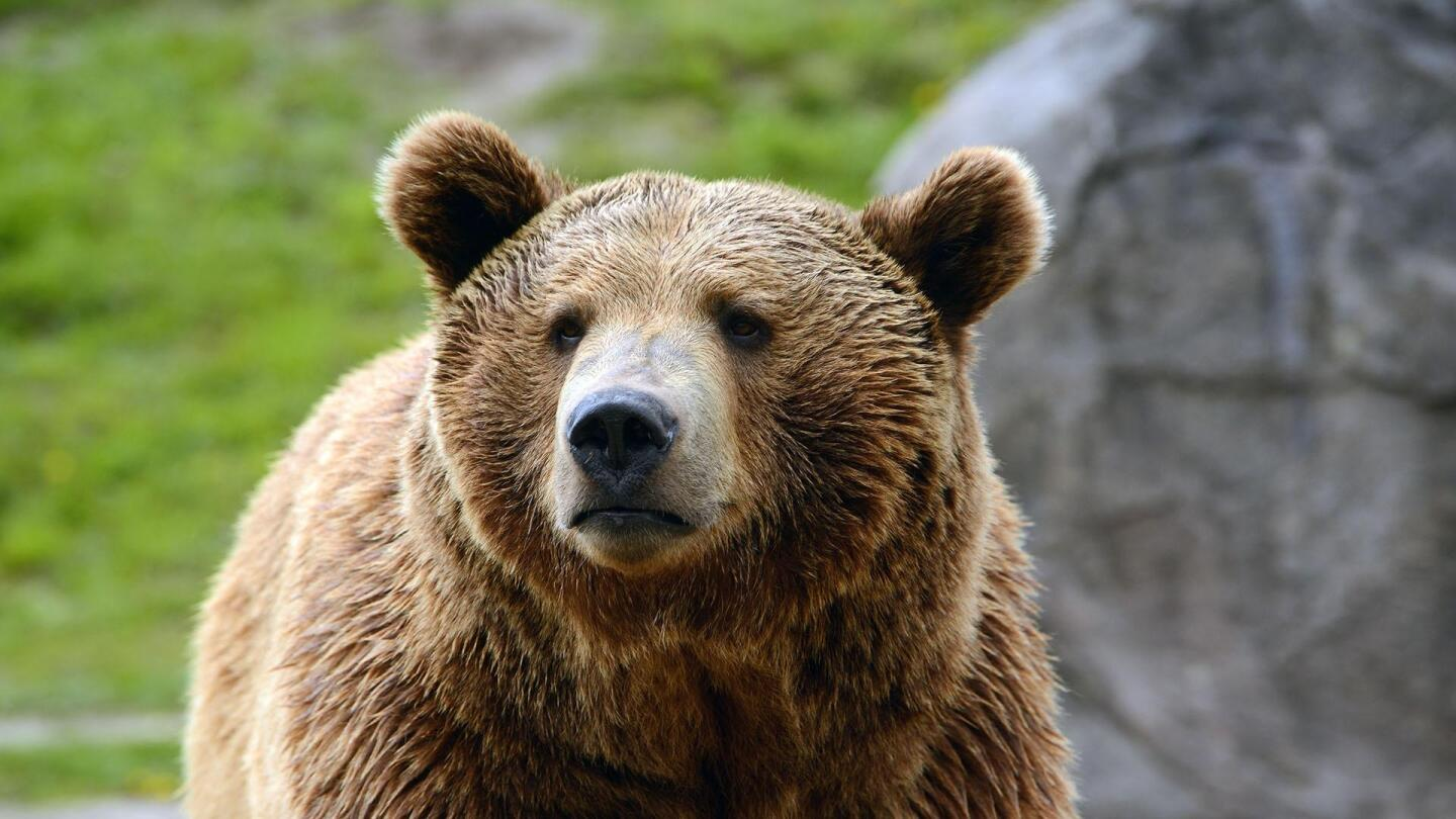 A brown-haired black bear looks on.