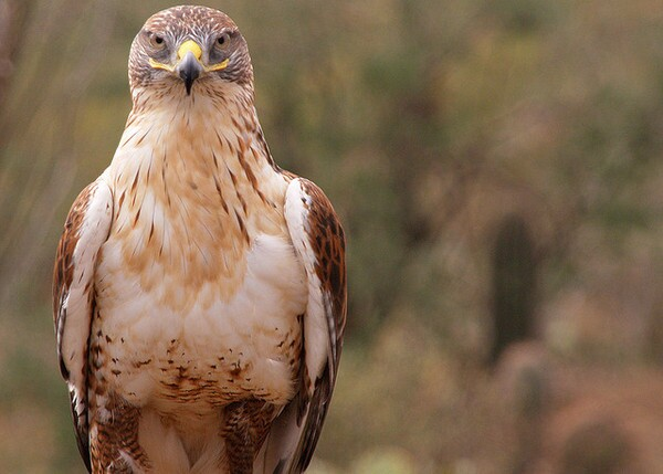 ferruginous-hawk-8-22-12-thumb-600x429-34584