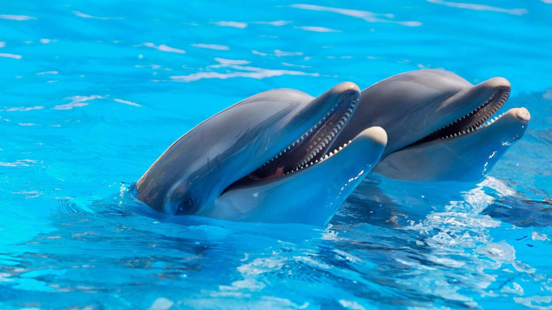Bottlenose Dolphins (large)