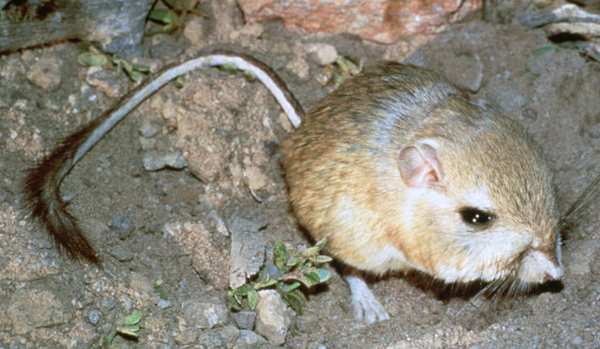 giant-kangaroo-rat-2-25-14-thumb-600x349-69413