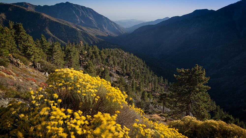 Flowering rabbitbrush (Ericamerica nauseosa) and East Fork canyon of the San Gabriel River. | Photo: Michael E. Gordon