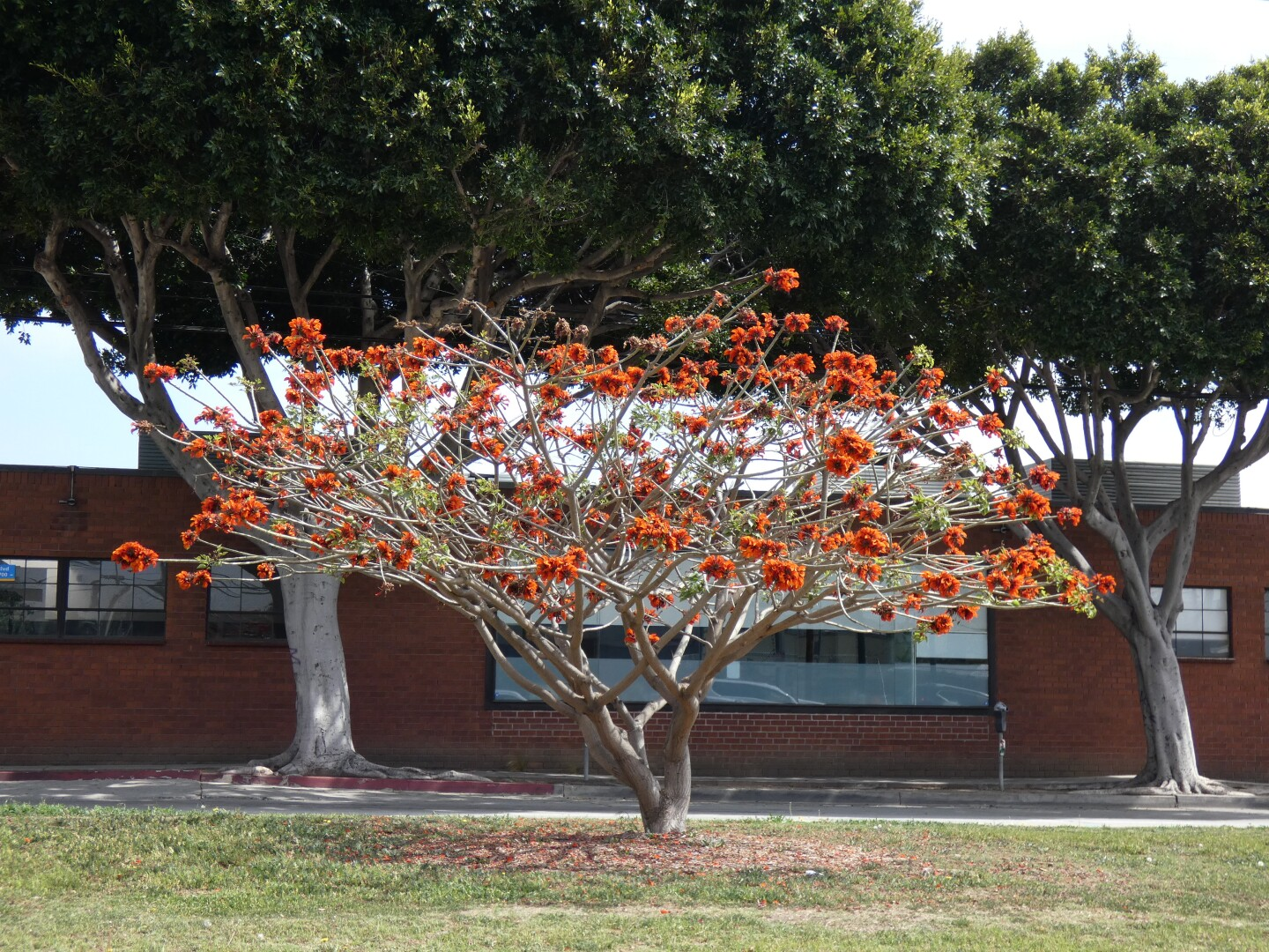A coral tree in front of a building on Olympic Boulevard.