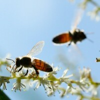 honeybees1