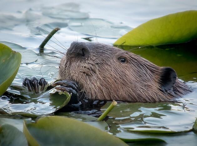 beaver-6-26-15-thumb-630x470-94656