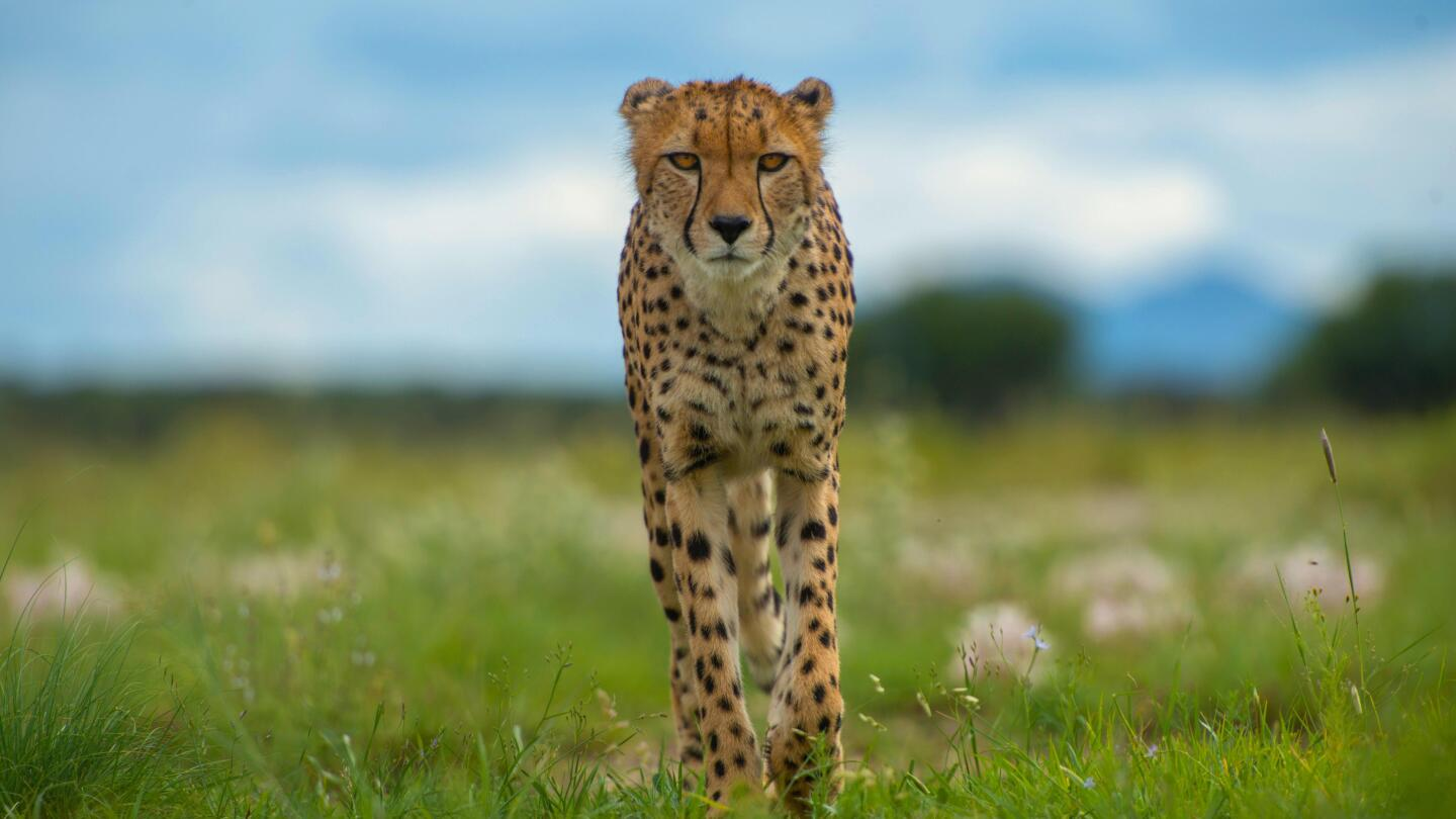 "A cheetah looks into the camera. | ""Animals with Cameras, A Nature Miniseries: Episode 2"""