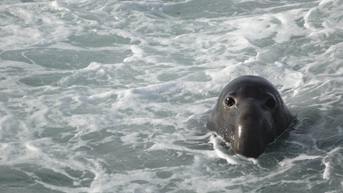 An elephant seal in the water at Piedras Blancas. | Photo: Zach Behrens/KCET