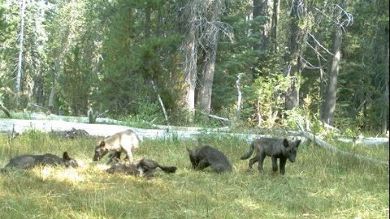 The Shasta Pack, first wolf pack in California in nearly a century, in the early days | Photo: CDFW