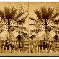Semi-Tropical California Scenery: Fan-leaf palm (H. T. Payne & Company). Photograph courtesy of California State Library