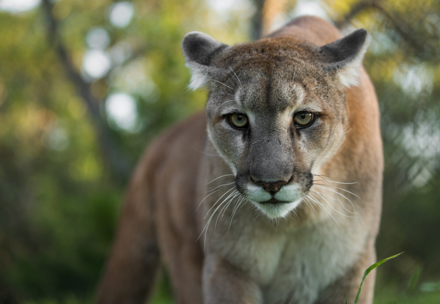 Mountain Lion looking at camera | Photo: Ben Masters, iStock