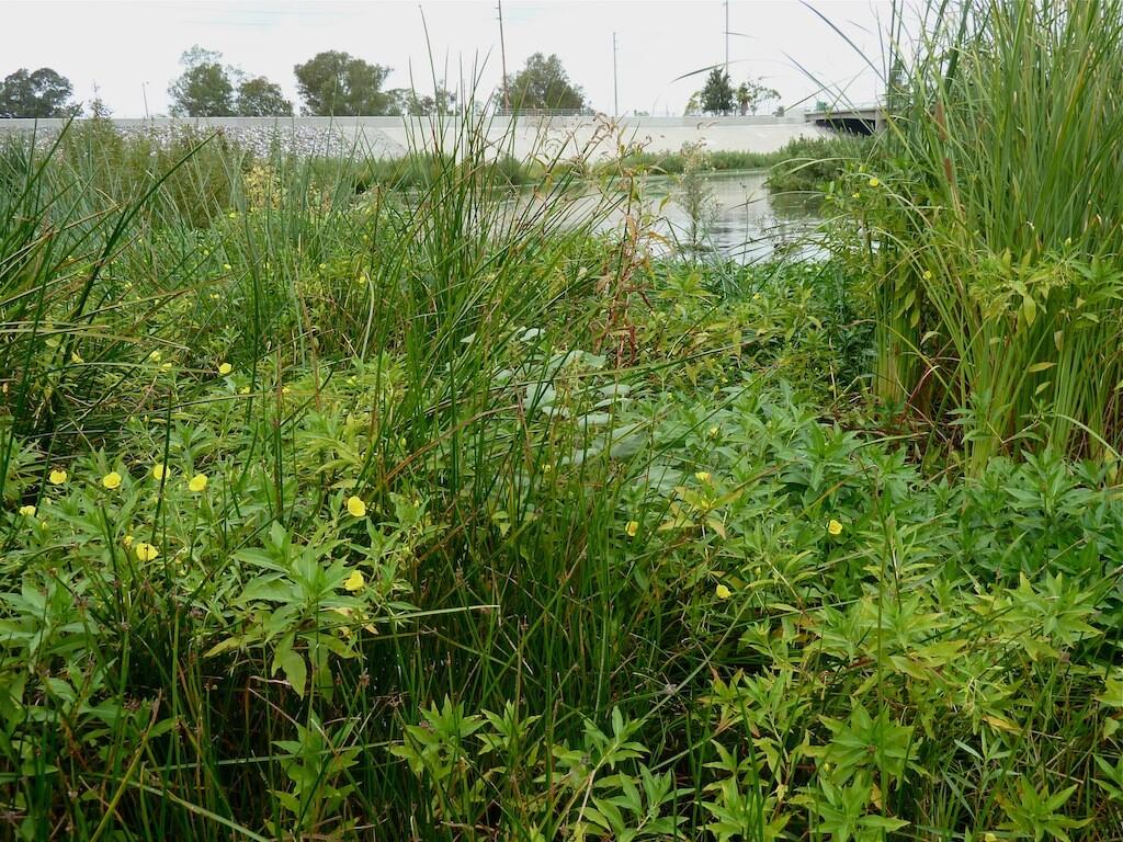 marshplants_willowst.jpg