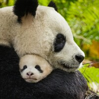 "Disneynature's ""Born in China"" pandas"