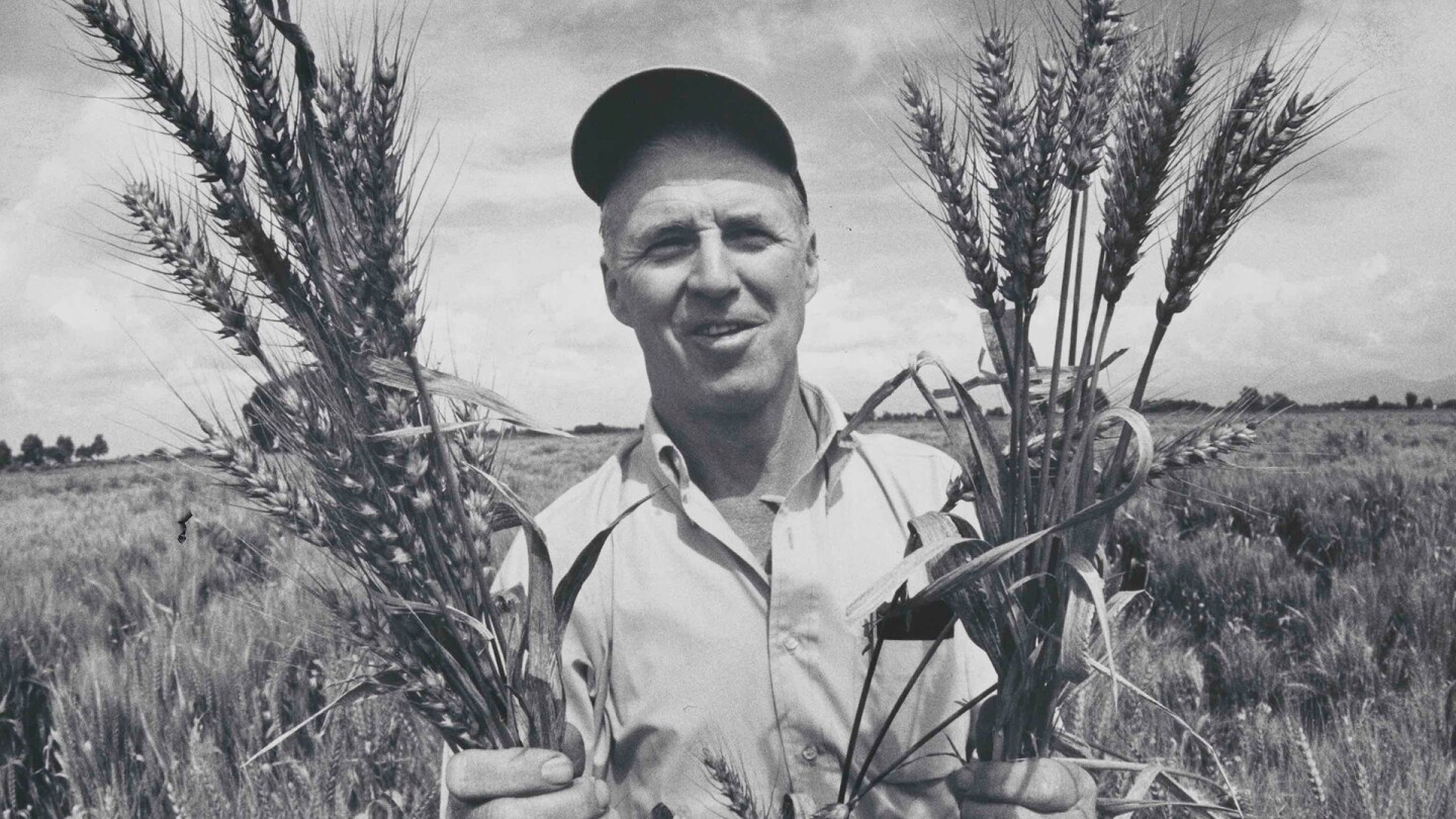 """Norman Borlaug in a Mexican wheat field, holding bunches of the so-called """"miracle"""" wheat that he developed by crossing a native Mexican strain with a Japanese dwarf variety. 1970. 