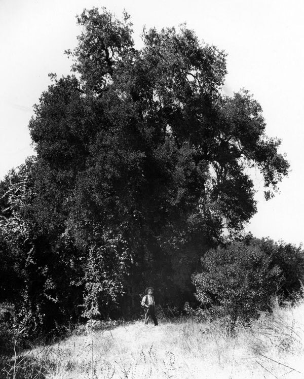 According to local legend, the Portola expedition held California's first-ever Easter services under the shade of this tree, South Pasadena's Cathedral Oak, in 1770. Courtesy of the Photo Collection, Los Angeles Public Library.