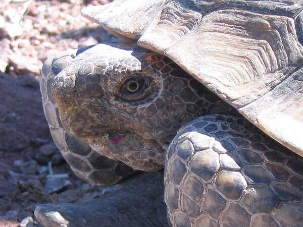 desert-tortoise-1-8-13-thumb-600x450-43026