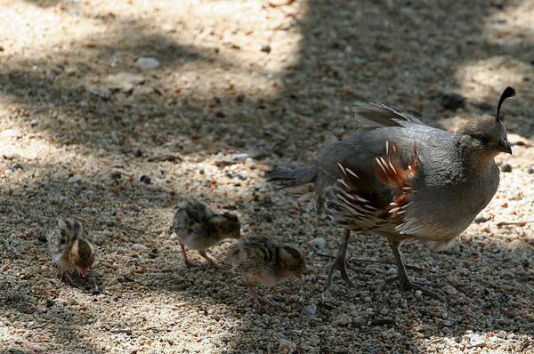 baby-quail-5-17-13-thumb-600x398-51243