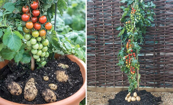 """Photo by <a href=""""http://graftedvegetables.com/wp/"""">SuperNaturals Grafted Vegetables, LLC</a>"""