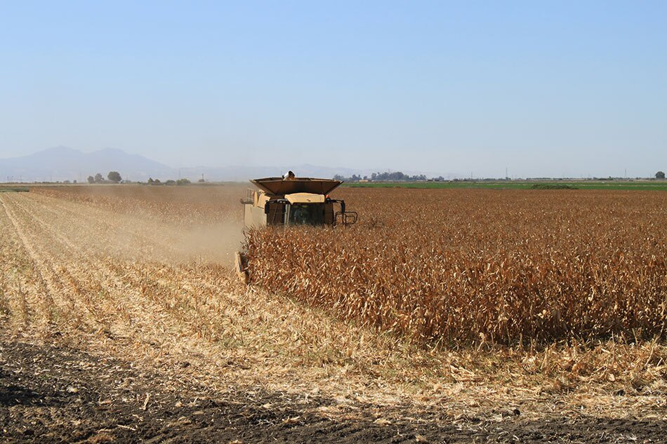 Corn Field and Harvesting Vehicle