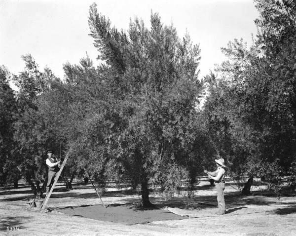 Asian American laborers like these two men on an unidentified Los Angeles olive grove likely planted and maintained the orchard on Olive Hill. Courtesy of the USC Libraries - California Historical Society Collection.