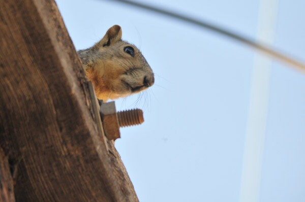 A common Eastern Fox Squirrel peers from atop a utility pole.