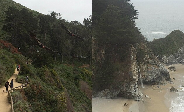 Left: Two condors fly over the walkway overlooking McWay Falls; Right: A group of condors feed on a sea lion near the falls.