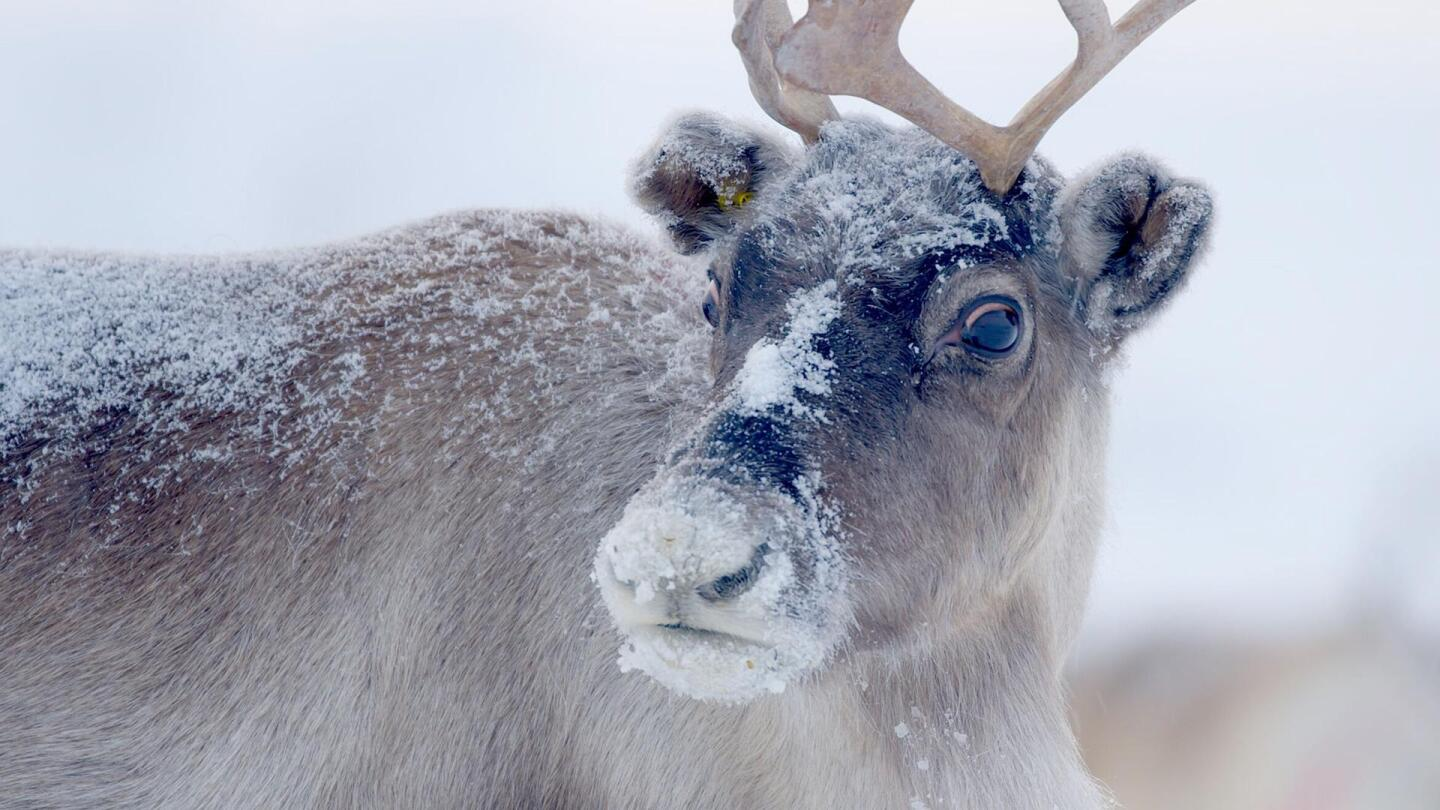 "Closeup photo of a reindeer. | From ""Nature: Santa's Wild Home"""