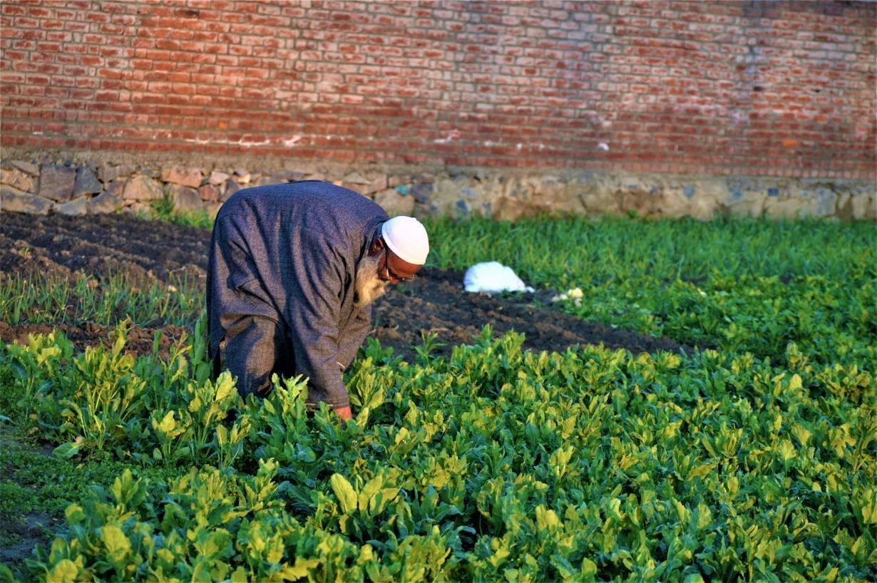 A Kashmiri farmer tends his kale crop at his farm in Malura, near Srinagar, India, March 13, 2020. Thomson Reuters Foundation/Athar Parvaiz