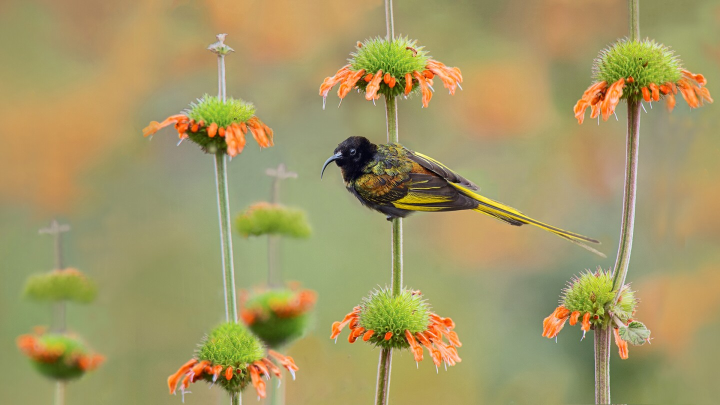 """A golden-winged sunbird rests on the stem of a Leonotis nepetifolia (Lions Paw) flower 