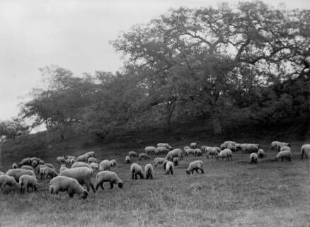 A flock of sheep grazing at Baldwin Ranch ca. 1890. Image: Courtesy of Los Angeles Public Library