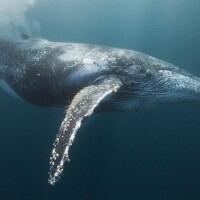 Humpback whale | Getty Images