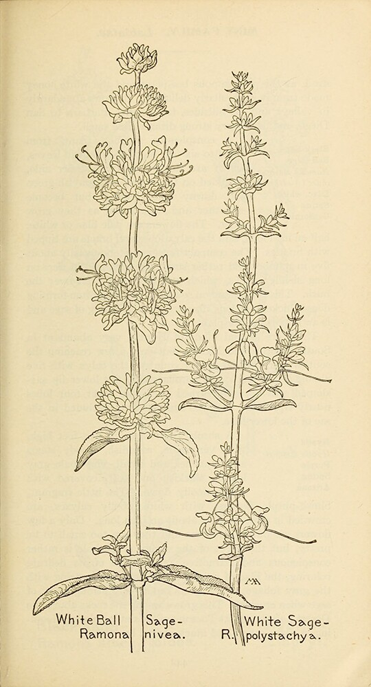 White Sage | Biodiversity Heritage Library | Field Book of Western Wildflowers 1915, public domain