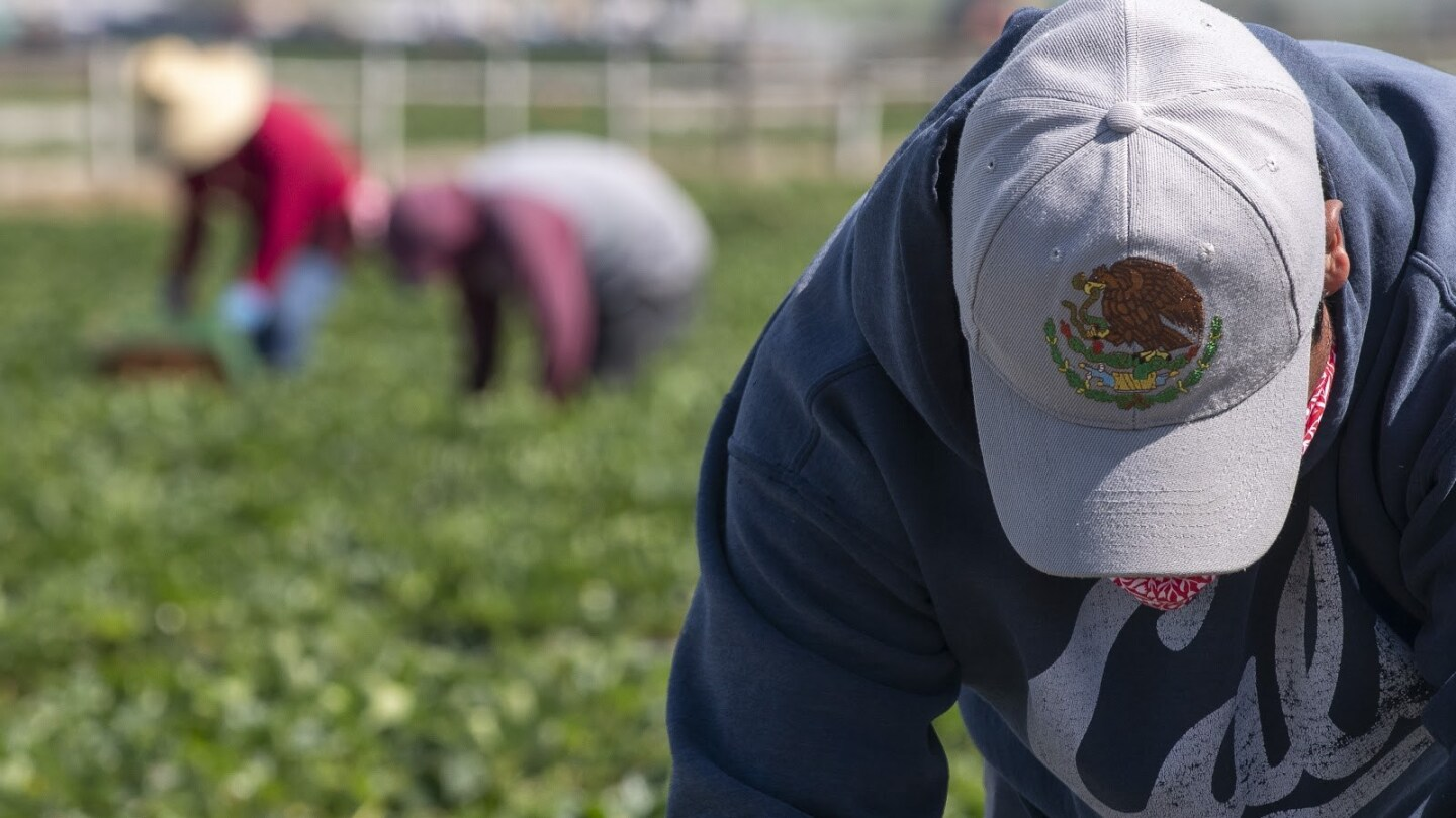A fieldworker wears a hat with the golden eagle, the official bird of Mexico, as he uses it to shield his face from the sun while he picks strawberries on Saturday, April 25, 2020.