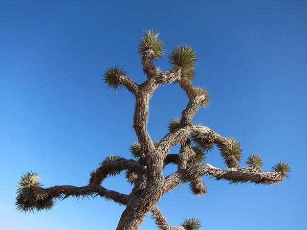 joshua-tree-7-29-13-thumb-600x450-56543
