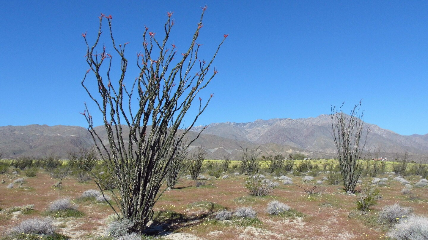ocotillo in anza borrego