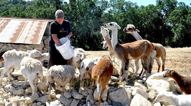 goats_alpacas_630_350