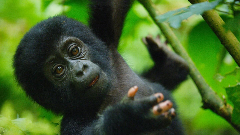 Baby gorilla in the trees.