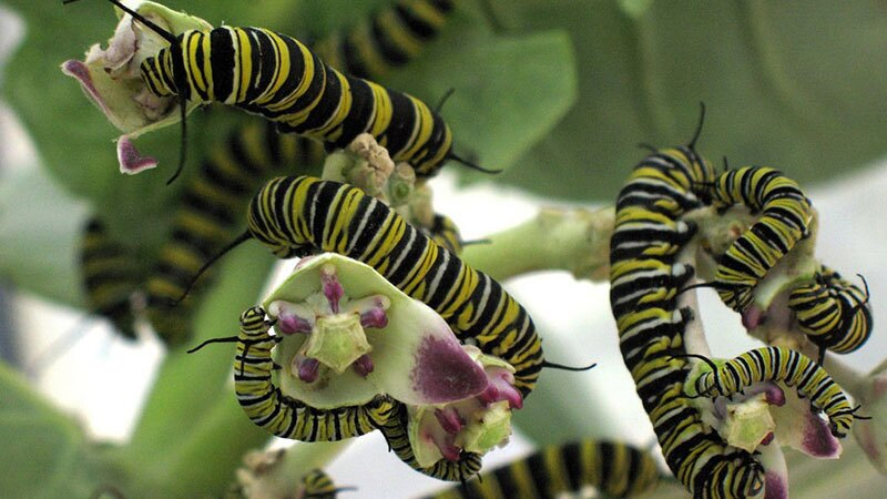 Monarch caterpillars feeding on milkweed | Photo: Tracy Lee, some rights reserved