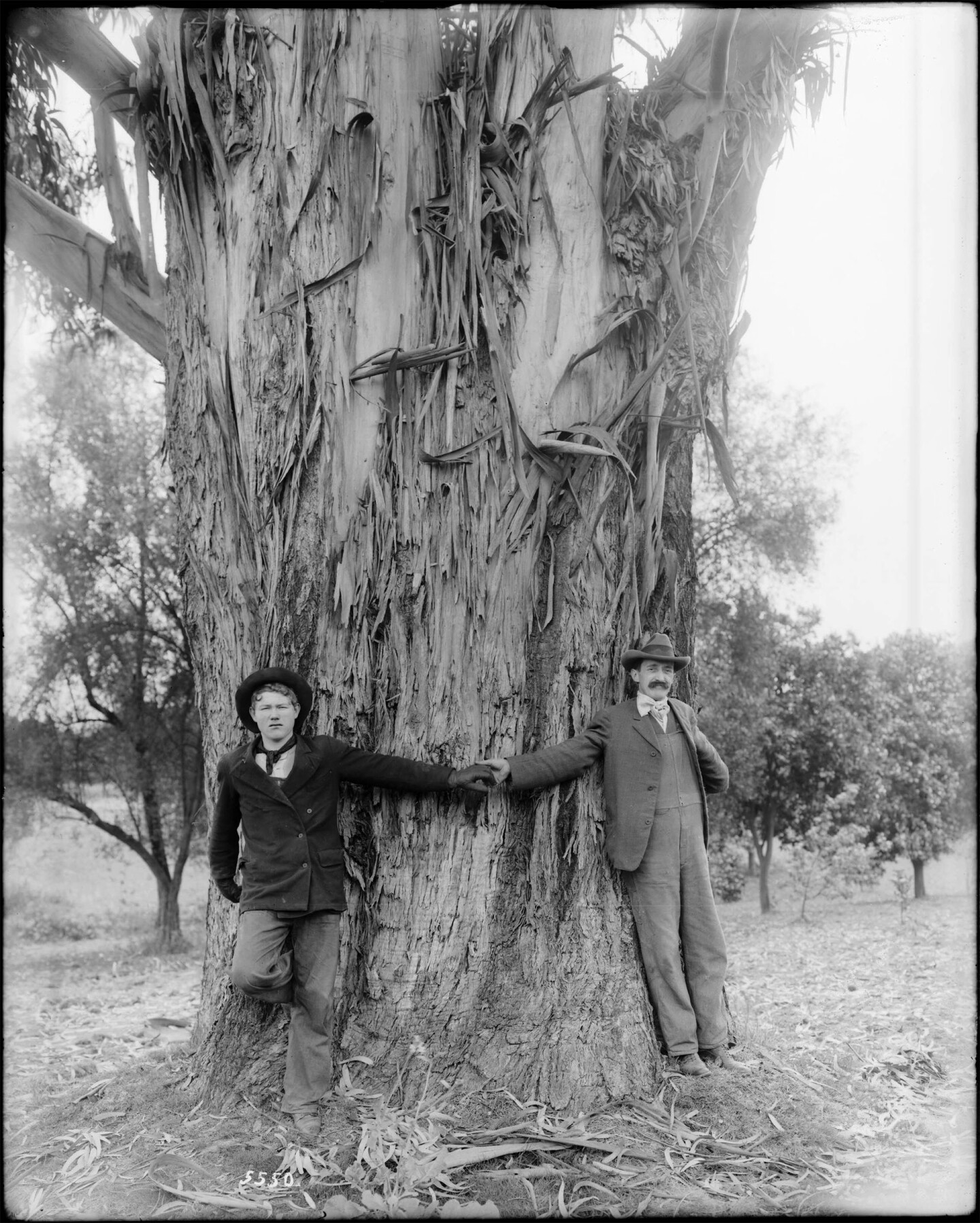 Two men demonstrate the girth of a 25-year-old eucalytpus tree on the L. J. Rose ranch in Rosemead, circa 1900. Courtesy of the Title Insurance and Trust / C.C. Pierce Photography Collection, USC Libraries.
