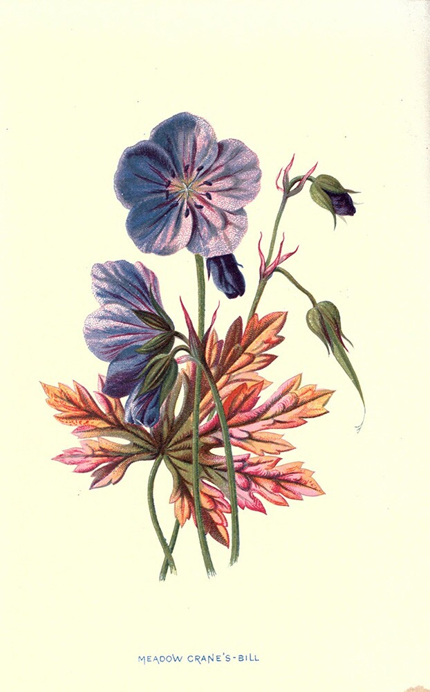 Meadow Crane's-Bill | Biodiversity Heritage Library | Familiar Wildflowers Figured and Described, 1878 (CC BY-NC-SA 2.0)