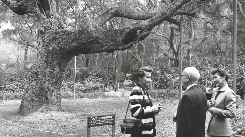 Descanso Gardens' Old Verdugo, an ancient oak that doubled as a survey marker