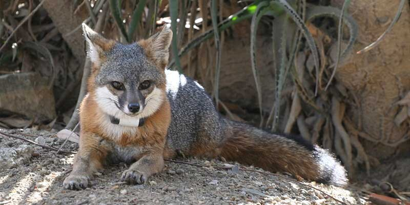 island-fox-7-16-16.jpg