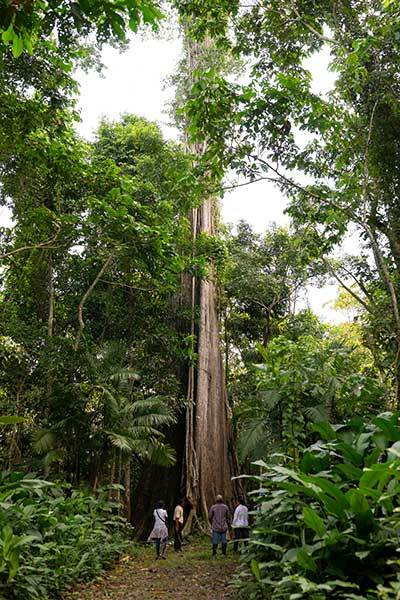 An extremely tall tree near the Chaikuni Institute's permaculture center in the Amazon. | Courtesy of Chaikuni Institute