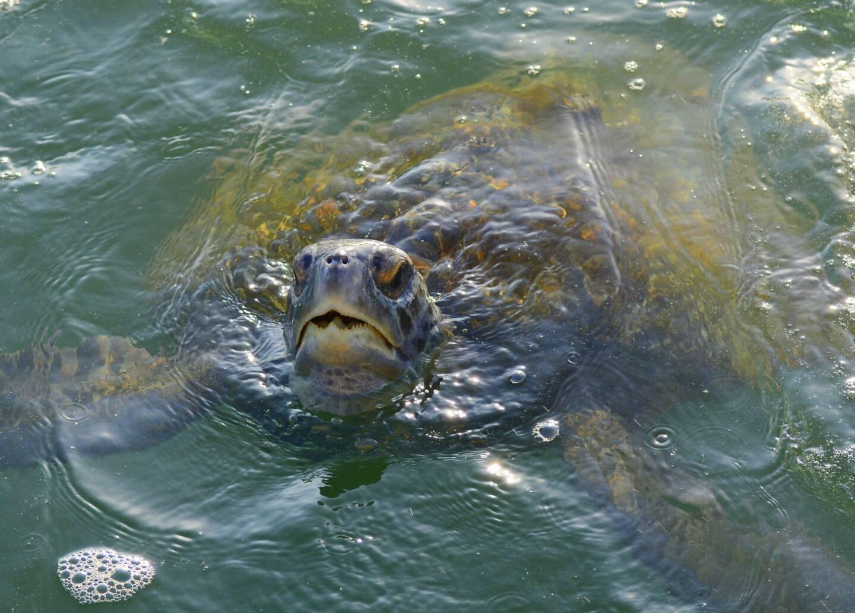 green-sea-_turtle-eric-austin-yee.jpg